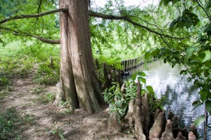 """A mature Bald Cypress with a crowd of its root """"knees."""""""