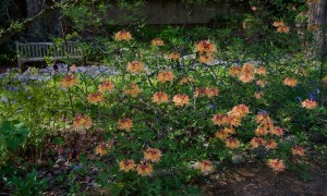 Florida Flame Azalea at the NC Botanical Garden in Chapel Hill