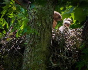 Red-Shouldered Hawk with two of her chicks before they were quite big enough to begin flexing their wings.