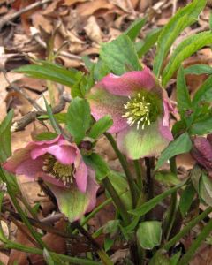 The poison in Hellebores must be fairly potent, because deer mostly ignore them.