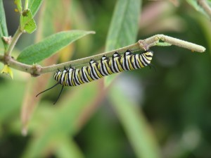 Monarch Caterpillar on Swamp Milkweed. Nurture the natives; save our Earth.