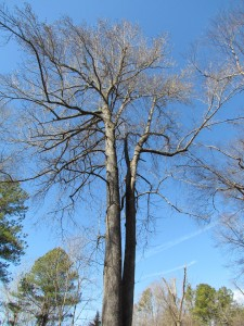 Mature Sweet Gum -- top two-thirds