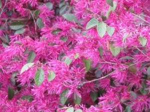 Loropetalum 'Zhuzhou Fuchsia' flower close-up