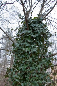 Non-native English ivy strangling a native dogwood
