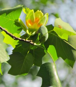 Tulip Poplar Flower and Bud