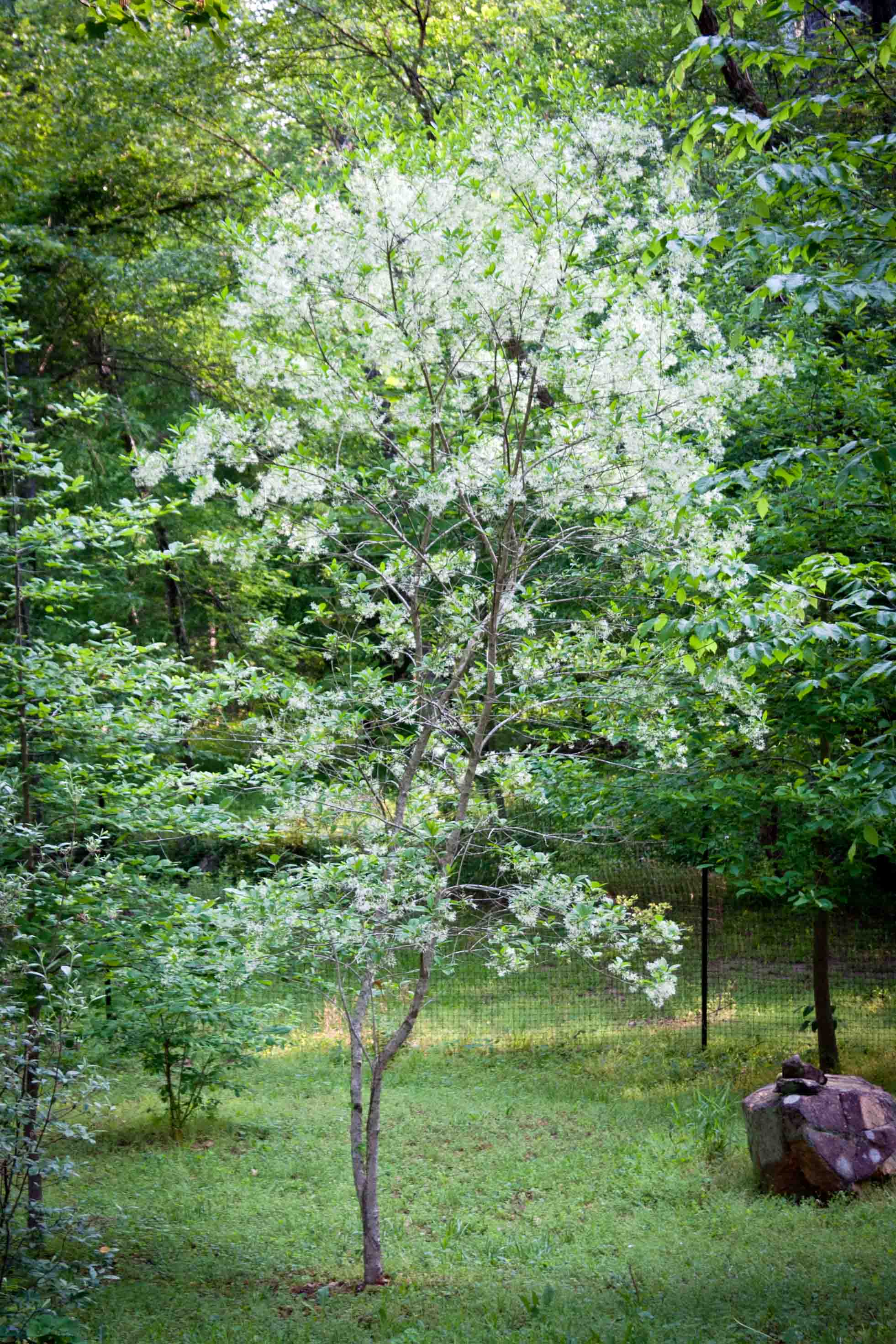 sourwood | Search Results | Piedmont Gardener