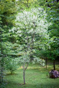 Will our spring-blooming native White Fringetrees be victims of the Emerald Ash Borer too?