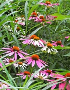 Flower buds of Purple Coneflowers are often eaten by deer in my yard.