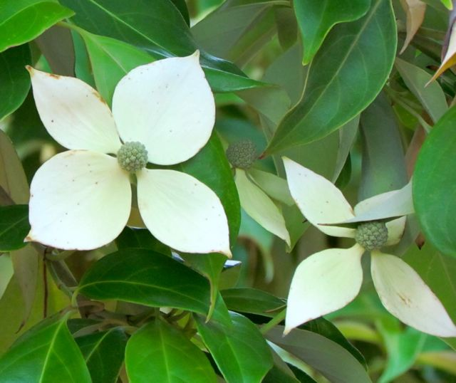 Evergreen chinese dogwood piedmont gardener cornus kousa var angustata sciox Image collections