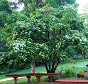 Evergreen Chinese Dogwood in bloom. Leaves of its lower branches are routinely eaten during winter.