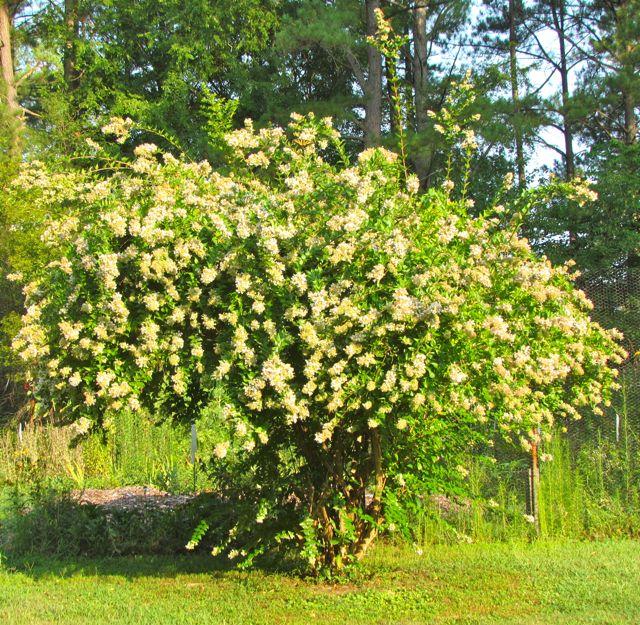 Abelia Chinensis Piedmont Gardener