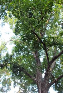 Northern Red Oak Tree Top