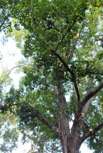 Northern Red Oak Tree Top