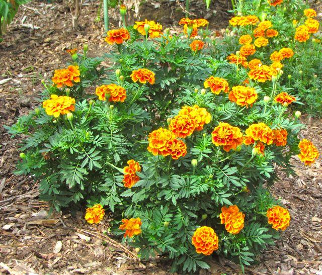 marigold �queen sophia� piedmont gardener