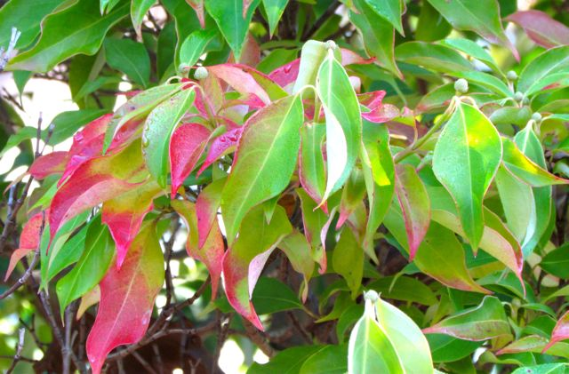 Capturing color piedmont gardener cornus kousa var angustata sciox Image collections