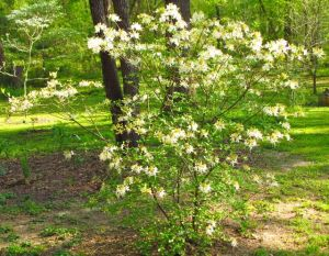 Alabama Azalea in full bloom in my native woodland north slope landscape.