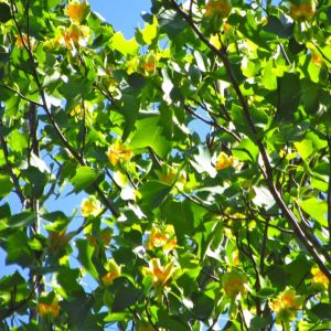 Tulip Poplar flowers humming with pollinators adorn this towering canopy specimen every spring.