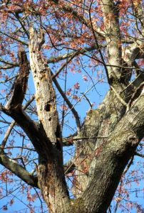 Woodpecker hole in a blooming mature Red Maple.