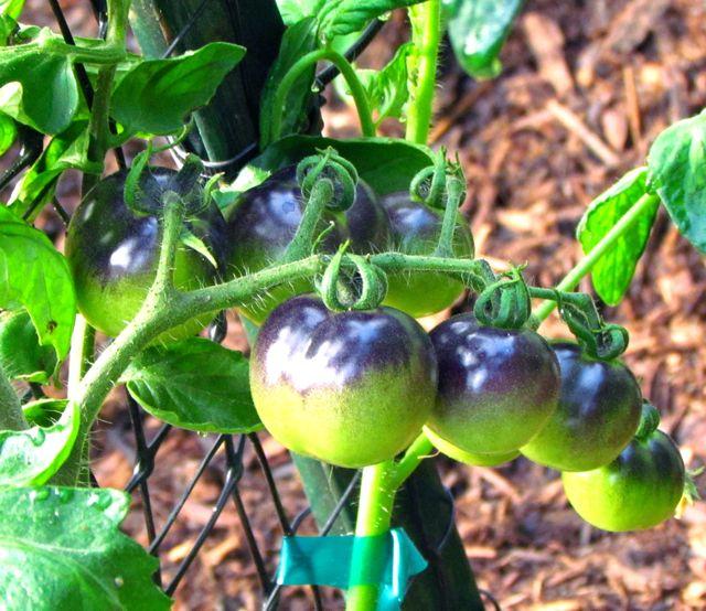 tomato indigo rose piedmont gardener. Black Bedroom Furniture Sets. Home Design Ideas