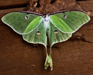IMG_3008-1 Luna Moth