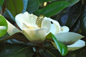 Magnolia grandiflora blooms for several weeks in May-June.
