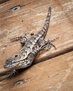 This Eastern Fence Lizard was a new species in our yard this year.