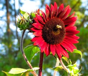 2-chocolate cherry sunflower close