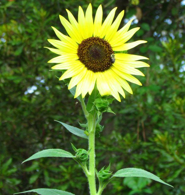 Sunflower Chocolate Cherry Piedmont Gardener