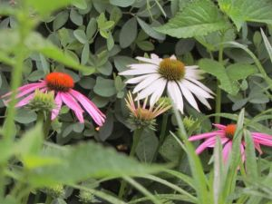 These lovely perennial coneflowers have never been fertilized in my garden, but they bloom profusely every year -- and multiply their numbers!
