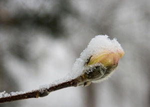 Royal Star Magnolia bud in snow