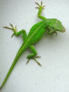 2-anole2