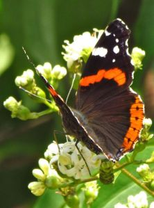 2-red admiral2