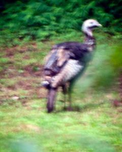 IMG_3749-1 Wild Turkey
