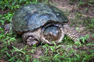 IMG_3789-1 Snapping Turtle