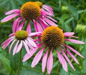 Purple Coneflowers are native to prairie habitats.