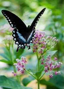 Swamp Milkweed is a food plant for Monarch caterpillars and a nectar source for many butterfly species, including this Spicebush Swallowtail.