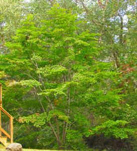 A thirty-foot tall kousa dogwood thrives in the shelter of our backyard, where the house shades it from searing afternoon summer sun.