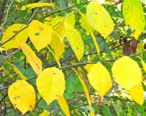 Golden autumn leaves of spicebush