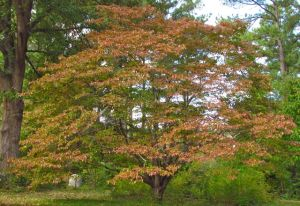 A mature native dogwood approaching peak autumn color.