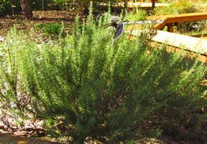 This rosemary is somewhat protected by my house. Will that be enough? Stay tuned...