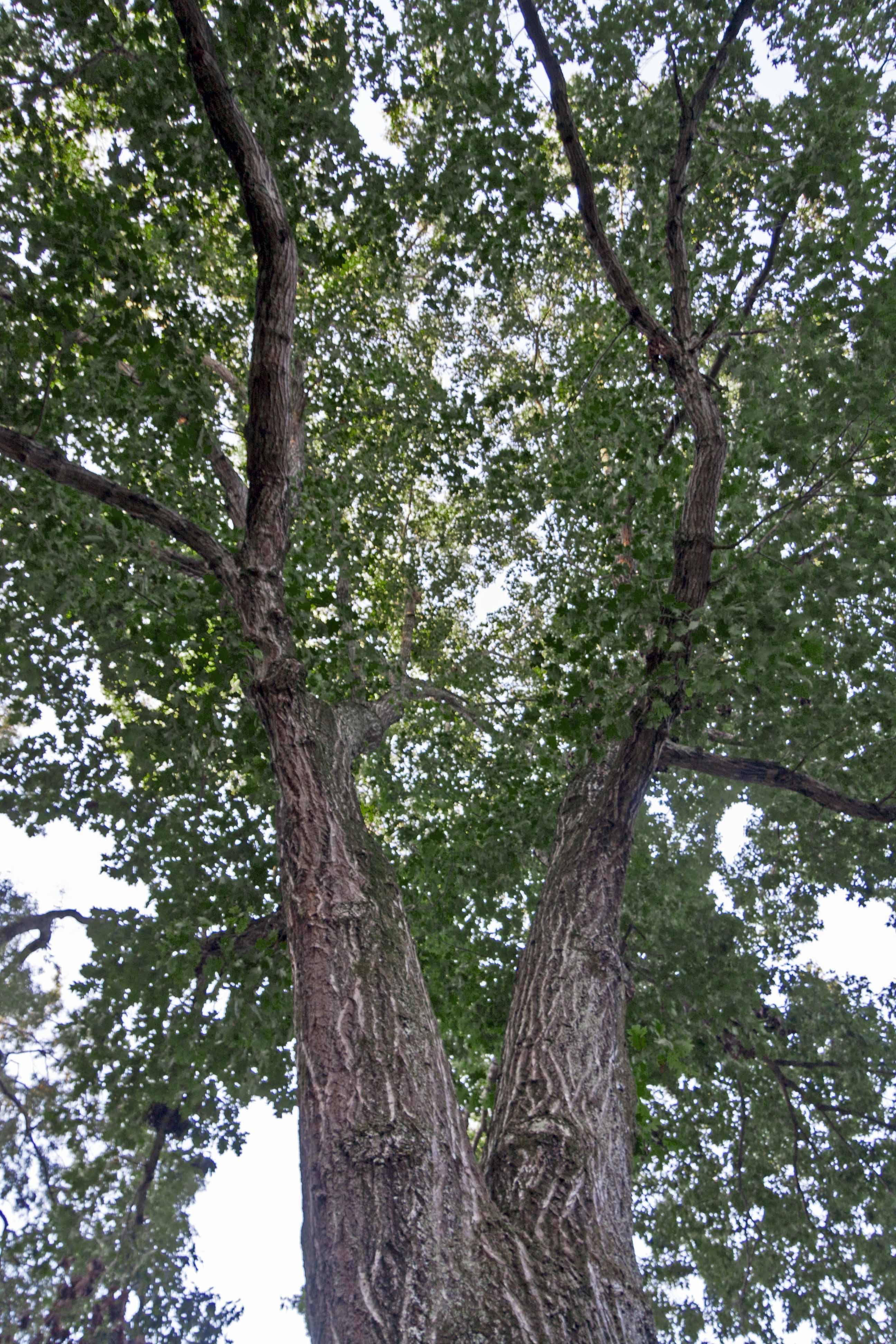Northern Red Oak ~ Northern red oak piedmont gardener