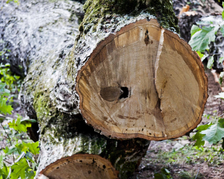 oak heart rot | Piedmont Gardener