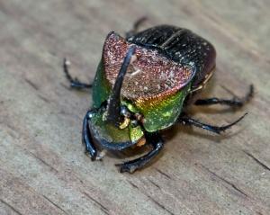 IMG_5210-1 Rainbow Scarab 1