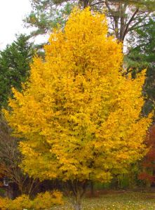 Persian Ironwood glows in the late autumn landscape.