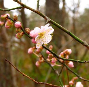Flowering Apricot perfumes winter breezes.