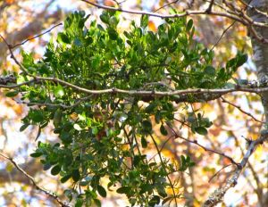 About a month ago, my Mistletoe was in full bloom, although the small yellow flowers are hard to spot.