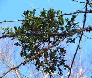 Vivid against a winter-blue sky, American Mistletoe is Love in the Air.