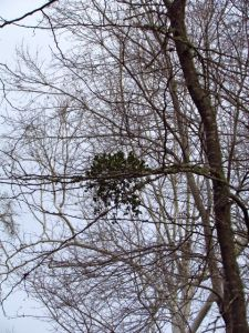 American Mistletoe reigns over the winter forest.