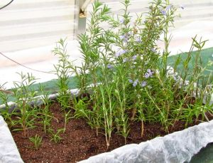 Rosemary and lavender cuttings will root easily in the greenhouse in a few weeks.