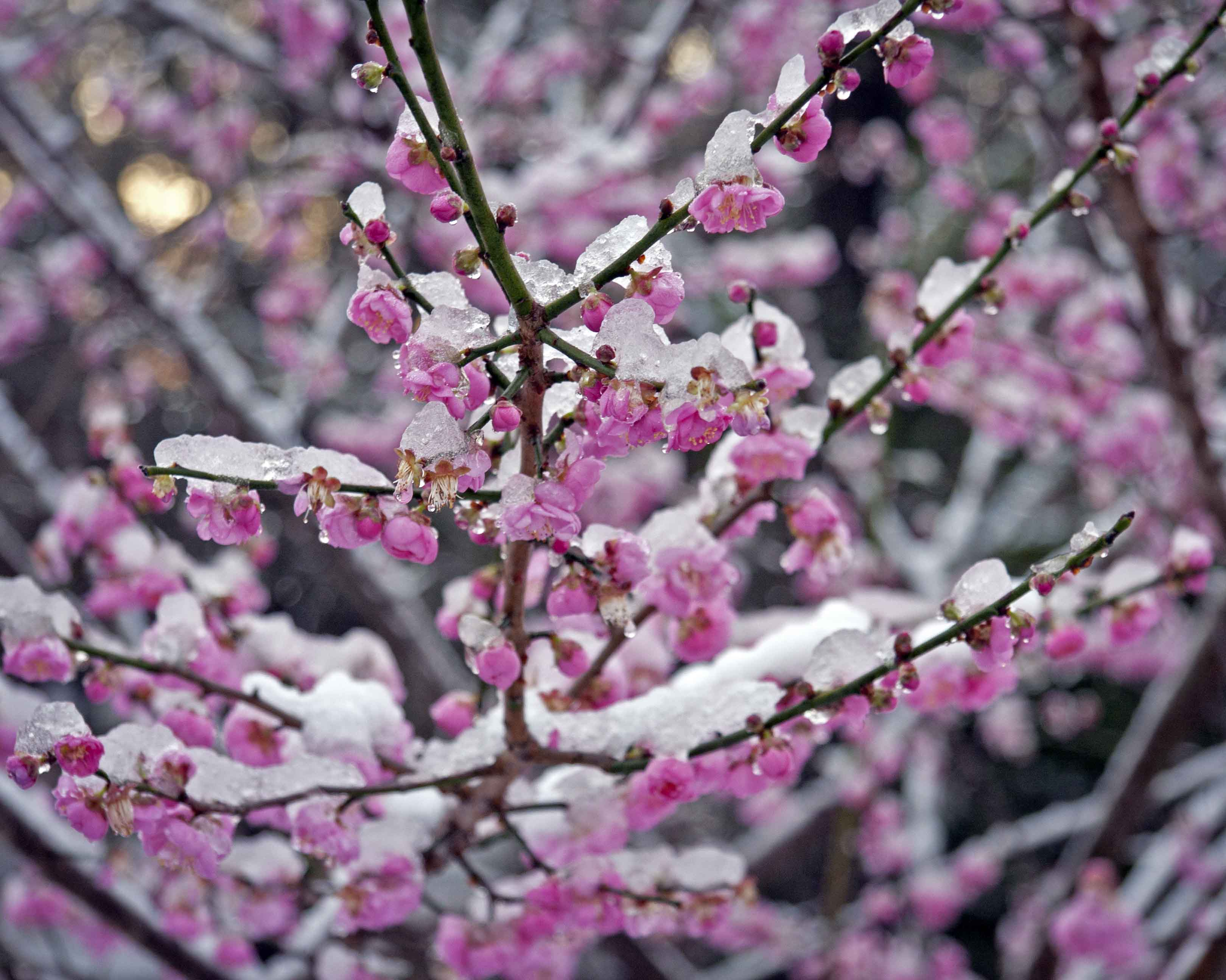 Winter makes an appearance finally piedmont gardener very pretty but flower petals arent fans of direct ice contact mightylinksfo